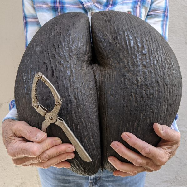 Large Coco de Mer seed held by someone, along with some inadequate nut crackers