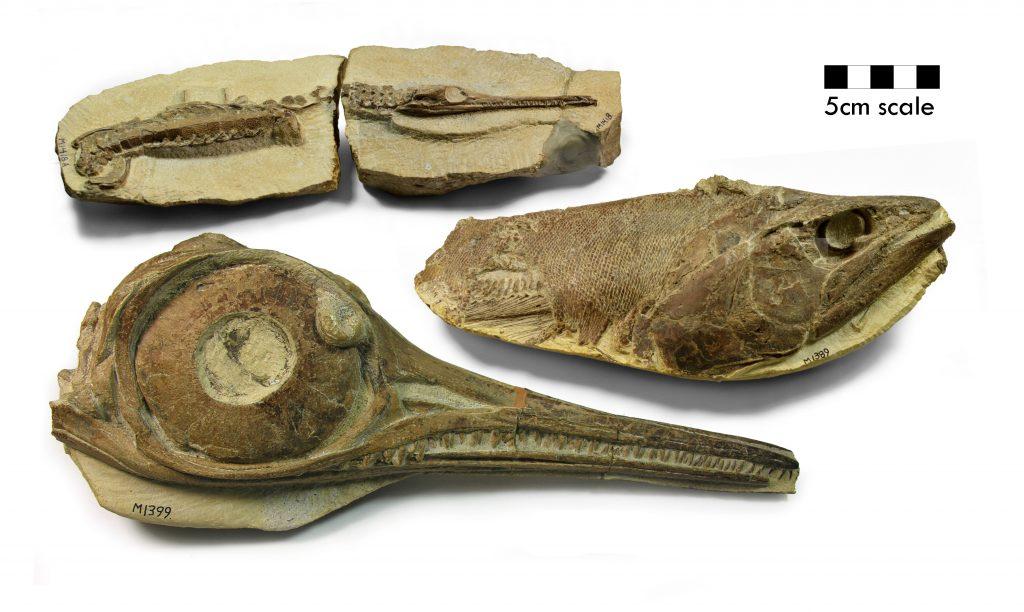 A juvenile Pelagosaurus crocodile, a Pachycormus fish, and an Ichthyosaur skull in three dimensions